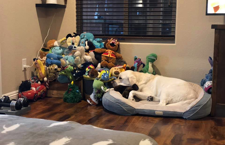 Cosmic Charlie the dog lying on a bed next to a huge pile of stuffed toys