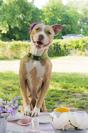 Duchess the dog at her tea party photo shoot