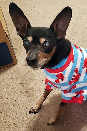 Ogden the dog sitting and wearing pajamas