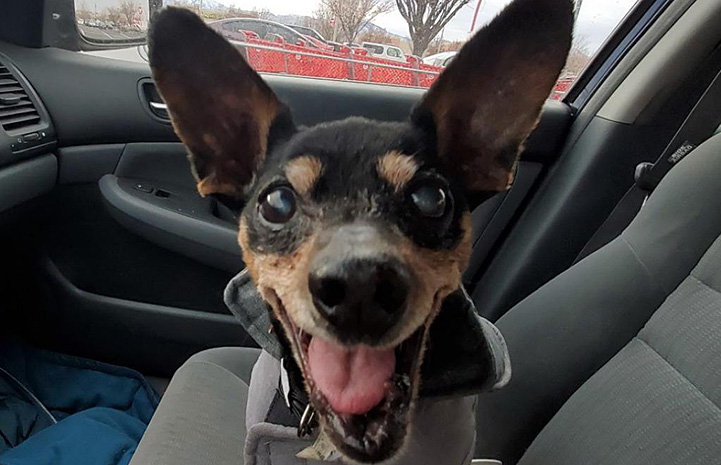 Ogden the dog, smiling while in a car