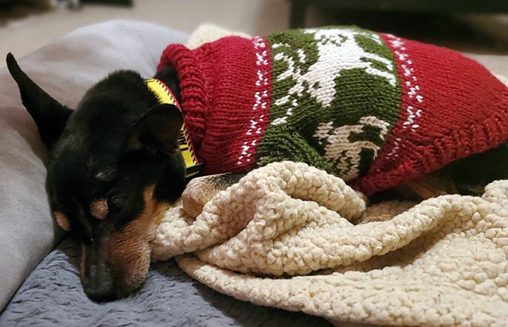 Ogden the dog lying on a blanket while wearing a sweater