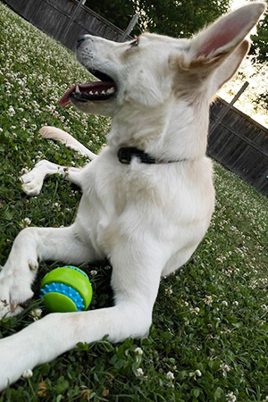 Hanz the dog with a ball between his front paws