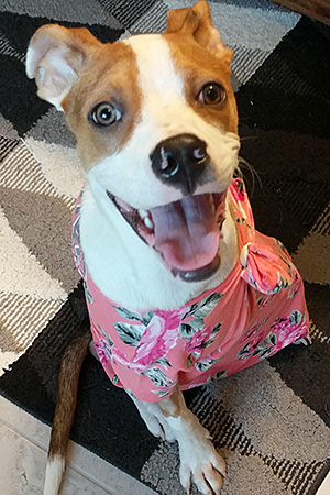 Honey Bee the dog wearing a T-shirt to protect her surgical incision