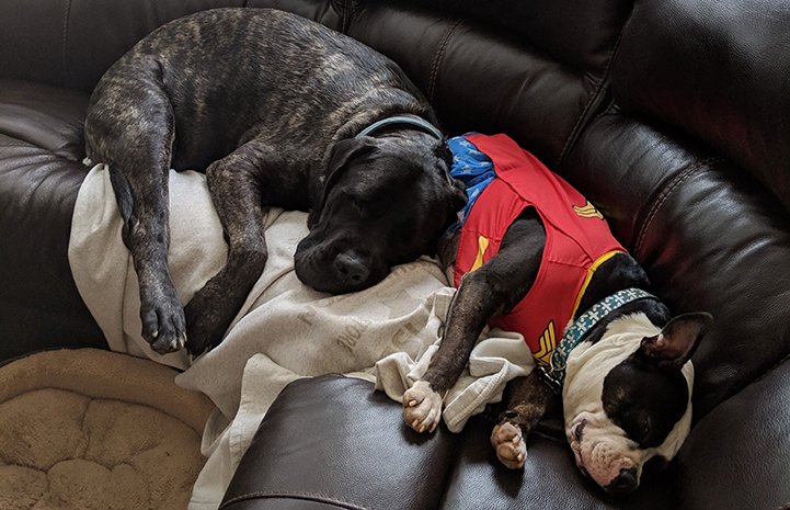 Two dogs sleeping and snuggling together on a couch