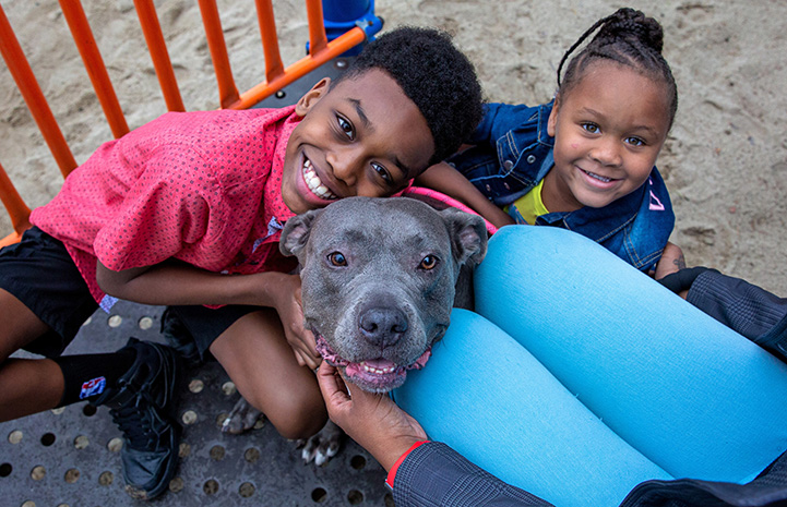 Young boy hugging Lola the gray and white pit bull terrier while young girl smiles next to him