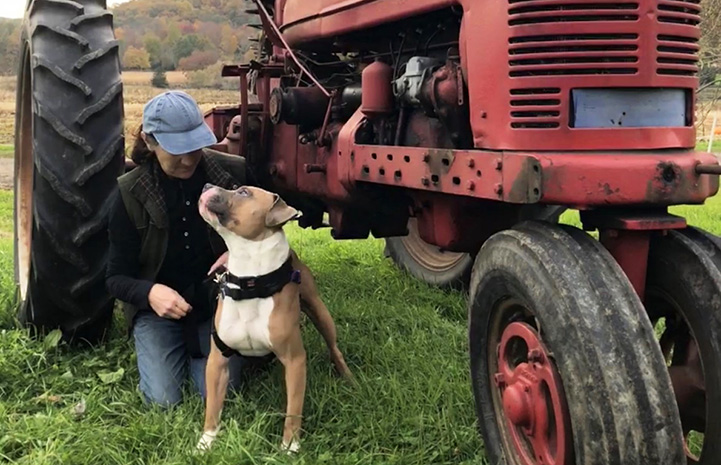 Malcolm the dog standing next to a person beside a vintage red tractor