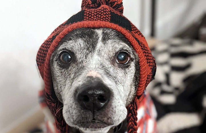 Hubie the dog wearing a red and black knitted cap