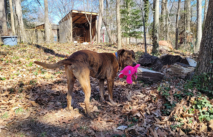 Pancho the dog in the woods holding a pink stuffed toy in his mouth