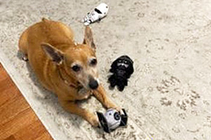 Stevie Nicks the dog lying on a carpet with some Star Wars toys
