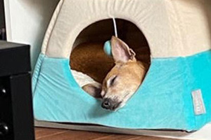 Chihuahua mix Stevie Nicks sleeping in an enclosed dog bed