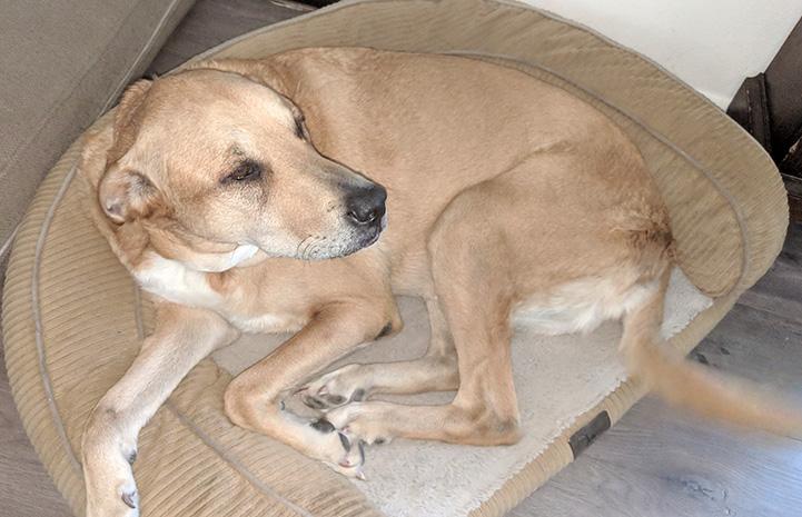 Lance the dog lying on a semi-circular bed
