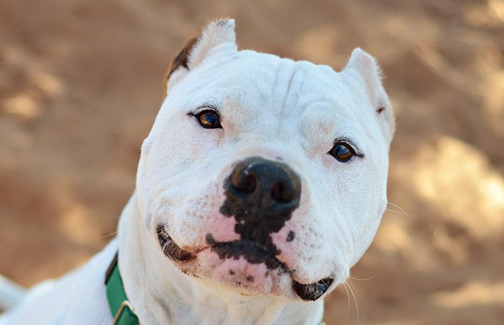 The face of Ralph the white pit bull terrier with cropped ears