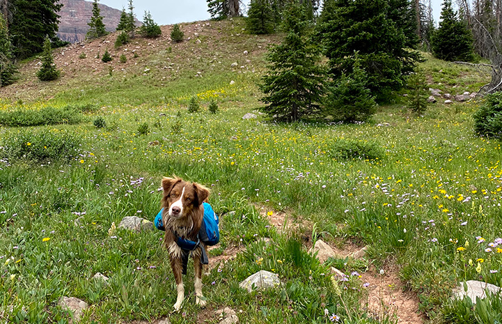 Scout the dog on a grass and flower covered hill wearing a backpack