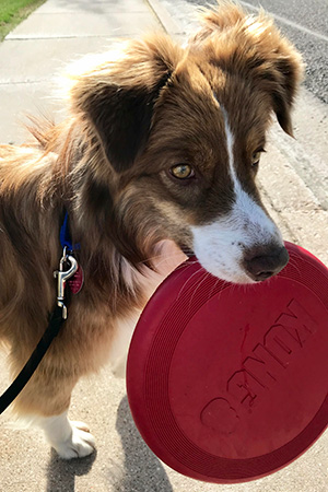 Scout the dog holding a Kong frisbee toy in her mouth