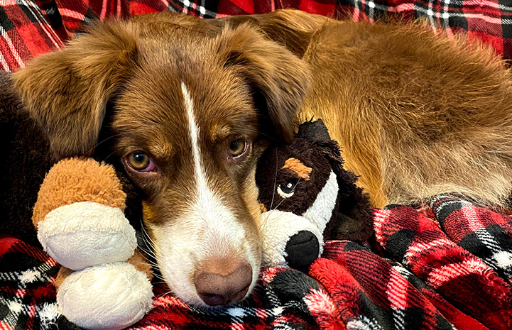 Scout the dog lying on a red plaid blanket with a plush toy