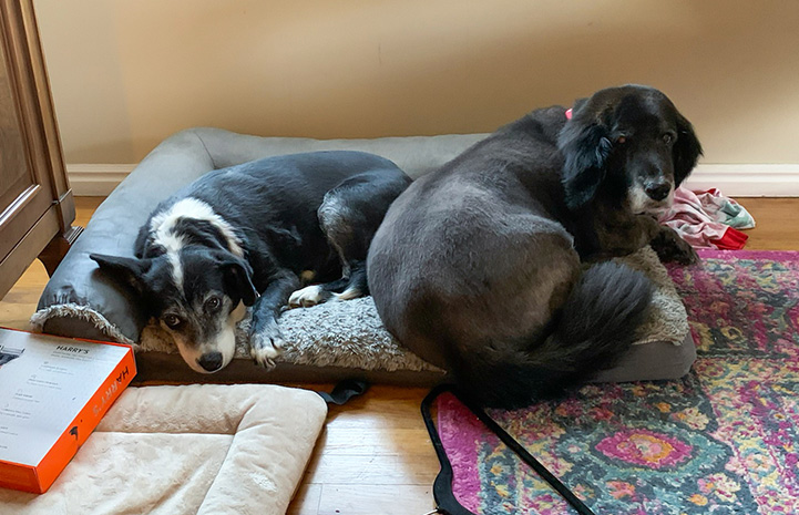 Glitter and another dog snuggling together in a small dog bed