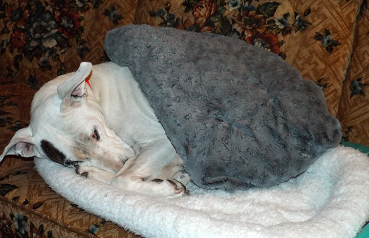 Yuma the dog snuggling under a blanket on a dog bed on a couch