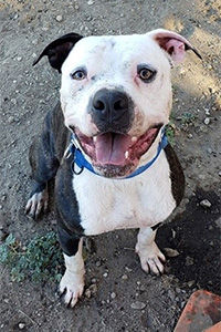 Zeke the pit bull terrier mix with one black ear, one white ear