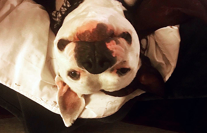 The face of Zeke the dog lying upside down