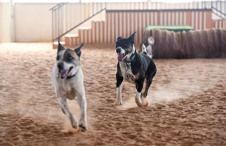 Wyatt and Caroline the dogs running together inside Tara's Run in Dogtown