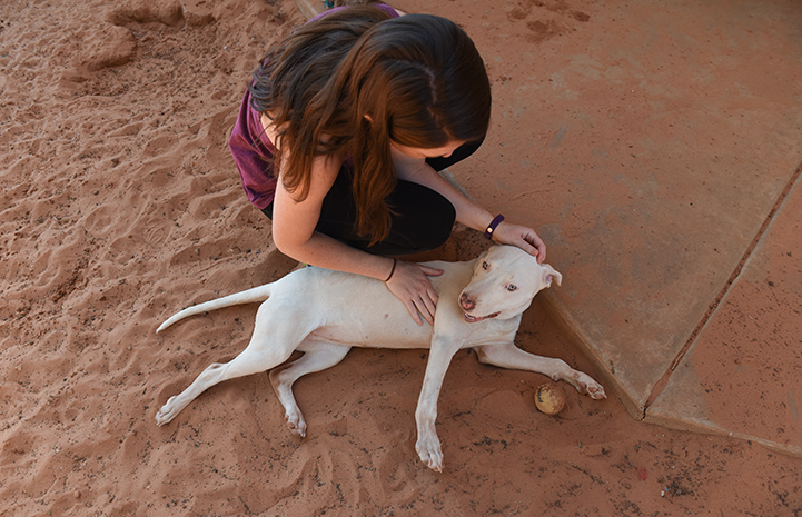 Ever, a white pit bull terrier type puppy with bowed legs, lying on the ground being petted by a woman