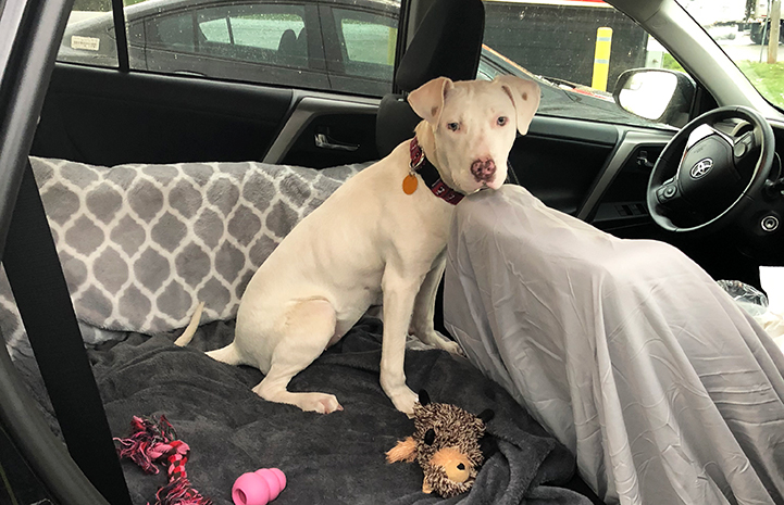 Ever, a white pit bull terrier type puppy with bowed legs, in a car
