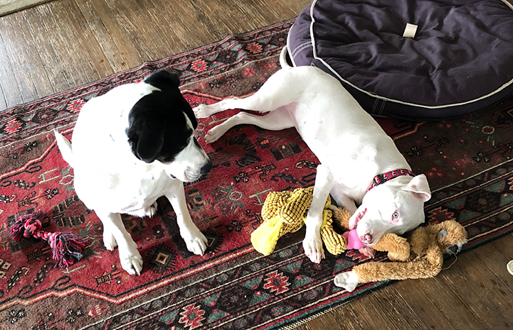 Ever, a white pit bull terrier type puppy with bowed legs, has fit right in with her canine siblings