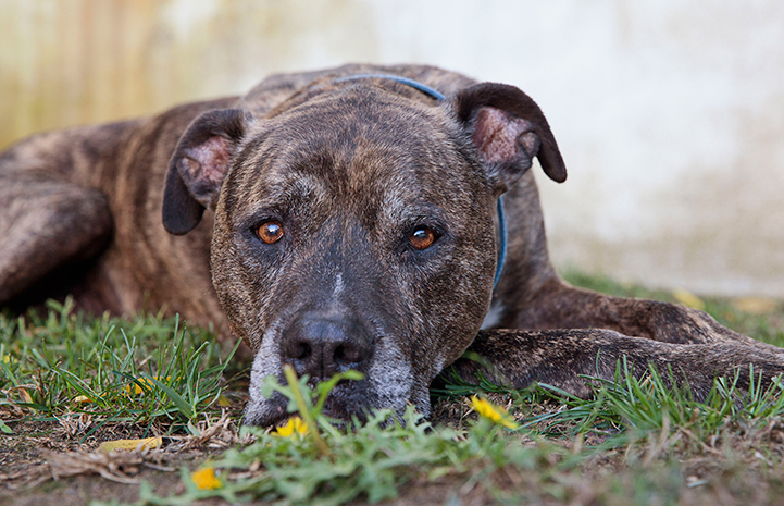 Chico, a brindle pit bull terrier type dog, lying down on the grass
