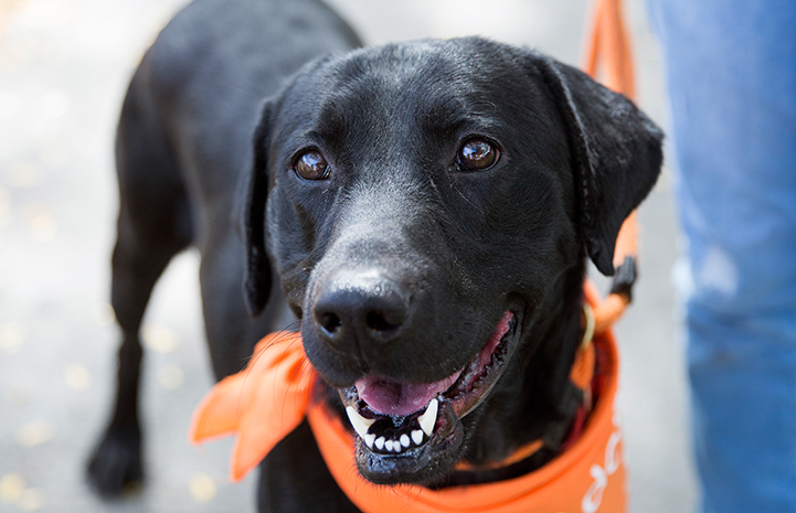 Trabieso, a black Labrador type dog, wearing an orange bandana