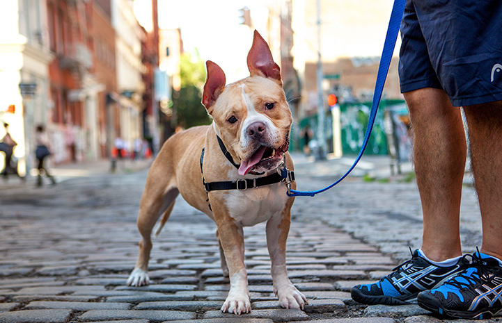 A tan and white pit bull terrier type dog with his tongue out on a leash