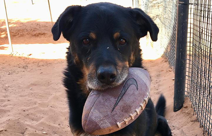 Heismann the dog holding a football in his mouth