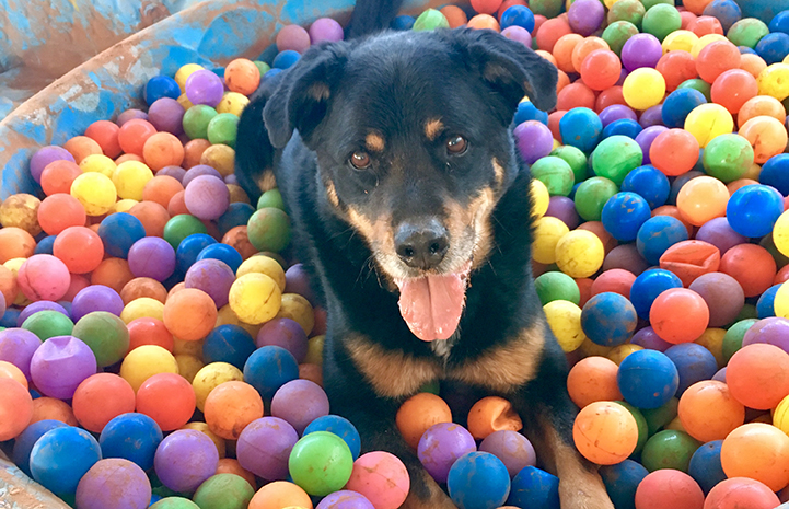 Heismann the dog in the ball pit with multicolored balls