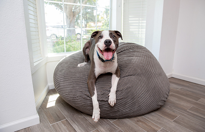Neville the dog lying on a bean bag chair in front of a window