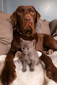 Penny the chocolate Labrador retriever with a gray kitten between her paws