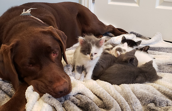 Chocolate Lab Penny lying on a blanket next to a litter of foster kittens