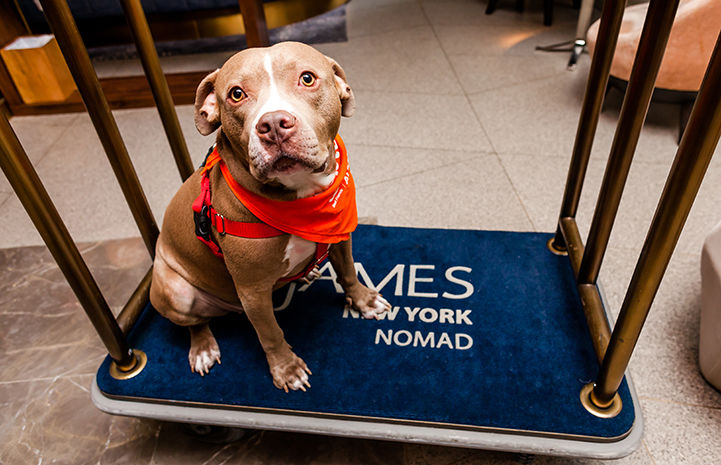 Micky, a brown and white pit bull terrier type dog, on a luggage cart at The James NoMad in New York City