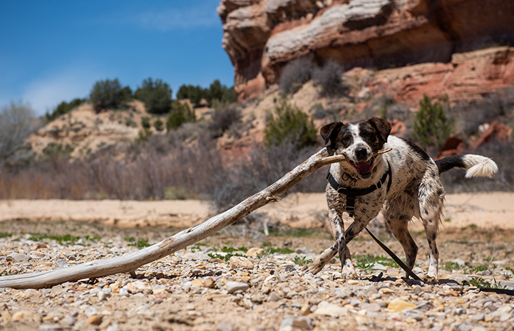 Delta the dog holding a large stick in her mouth