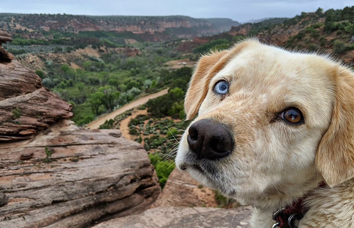 Rusty the dog with two different colored eyes with Angel Canyon scenery behind him