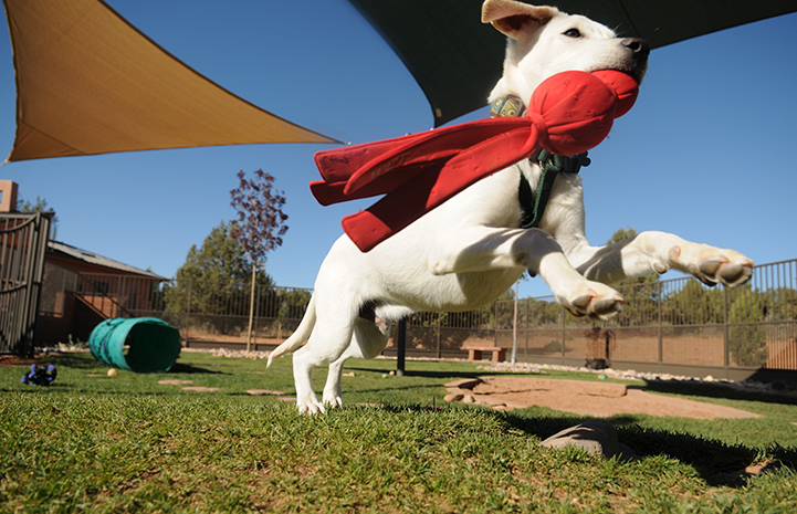 White puppy with red toy in mouth leaping up through the air in a puppy park