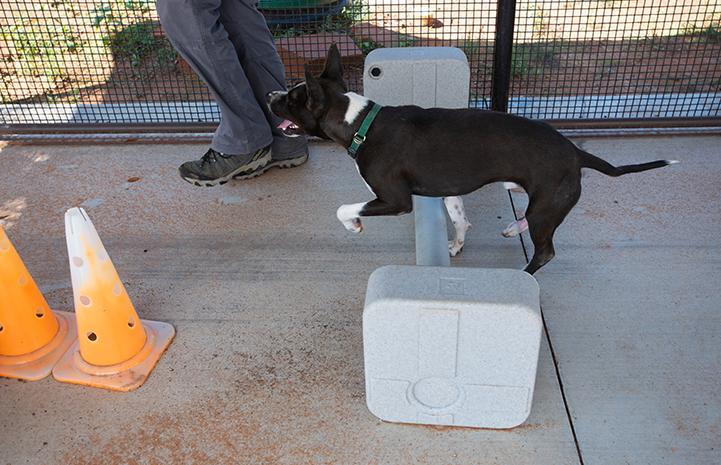 Rehabilitation for Lovebug the black and white dog