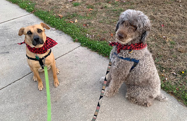 Charger/Chance the dog wearing a checkerboard bandanna on a leash on a walk outside with another dog