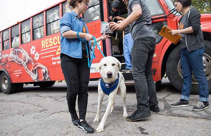 Large white dog wearing a blue bandanna getting of the transport bus