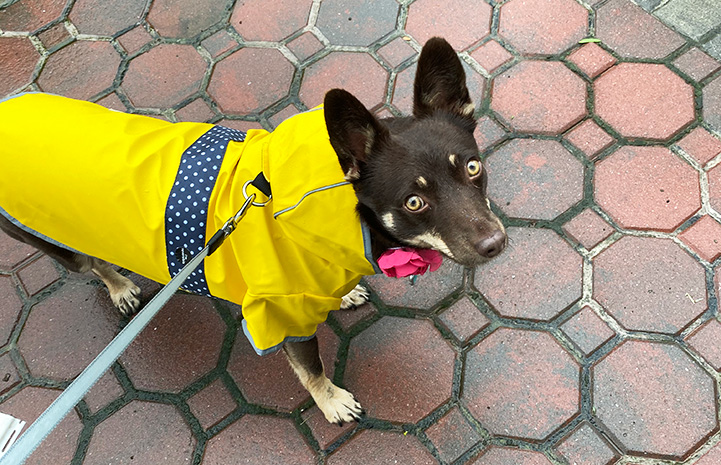 Magnolia the dog wearing a bright yellow raincoat while out on a walk