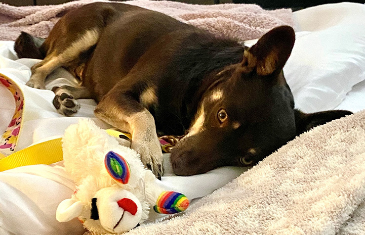 Magnolia the dog lying in a bed next to a Lambchop plush toy