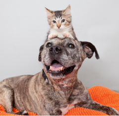 Brindle colored dog with kitten on top of head