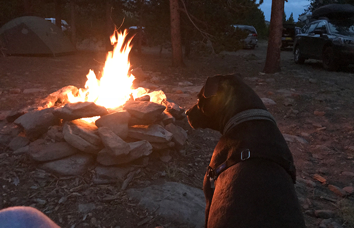 Pippin the dog enjoying a campfire