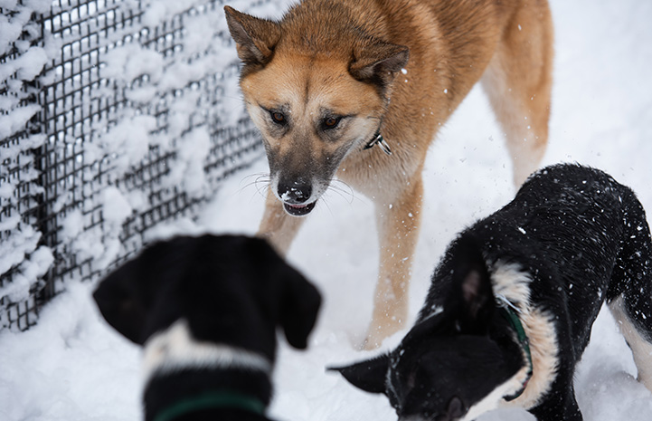 Brown dog playing in the snow with two black and white dogs