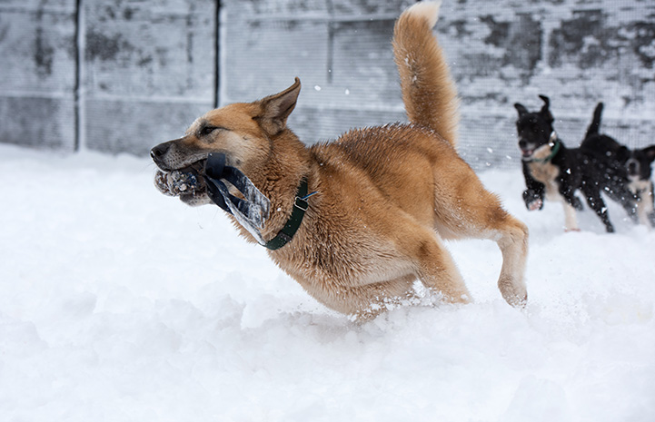 Freya the dog racing with a toy in her mouth while Pinwheel the dog chases her in the snow