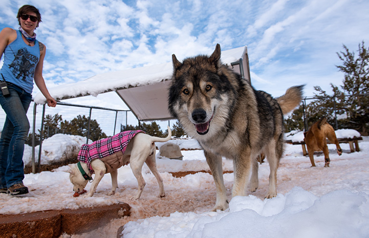 Multiple dogs playing in the snow while a woman wearing a tank top watches