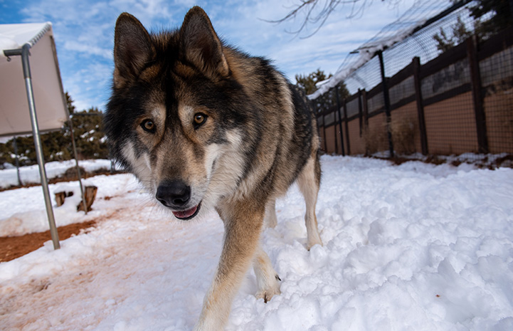 Mokie a malamute mix dog walking in the snow